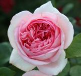 rosier-bobino
